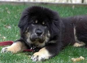 chembo chi the tibetan mastiff puppy tibetan mastiff With mastiff dog door