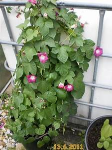 Kletterpflanzen Immergrün Winterhart : balkon kletterpflanzen winterhart die sch nsten ~ Michelbontemps.com Haus und Dekorationen