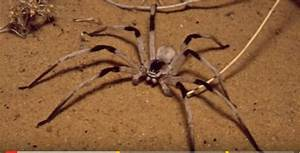 """Real """"giant"""" spiders (video) 