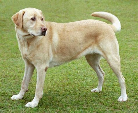 saved by dogs cross breeding labrador poodle labradoodle