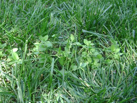 lawn weeds riley county extension blog lawn weeds