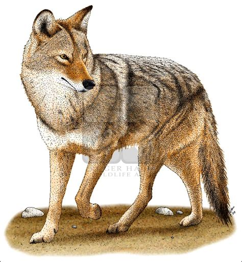 Drawn Coyote Desert Animal Pencil And In Color Drawn