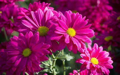 pink chrysanthemums daisy flower wallpaperscom