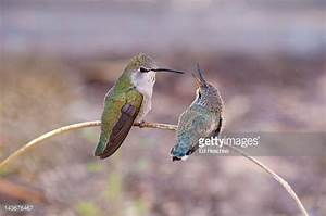 Costa's Hummingbird Stock Photos and Pictures | Getty Images