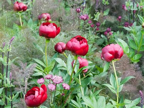peonies growing season top 10 tips on growing peonies top inspired