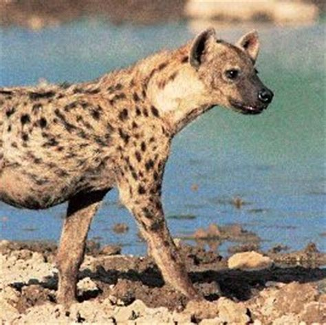 spotted hyena animal facts  information