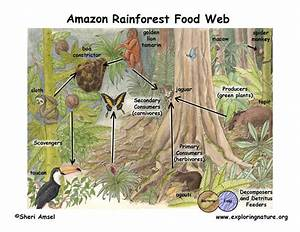 Food Chains - The Ecosystem of the Amazon Rainforest.