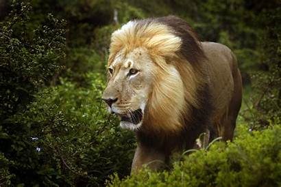 Male Lions Predators Ambush Lion African Study