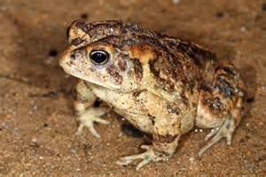 Poisonous Bufo Toad Florida