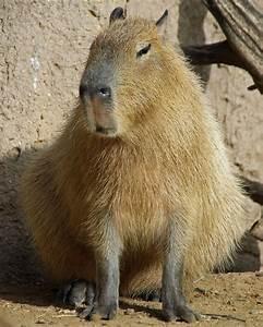 Capybara Related Keywords - Capybara Long Tail Keywords ...