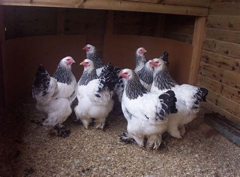 1000 images about chicken breeds and egg colors on