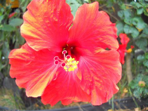 hawaiian flowers | Aimee's healthy living