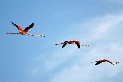 do flamingos fly interesting facts about flamingos jobs in wildlife