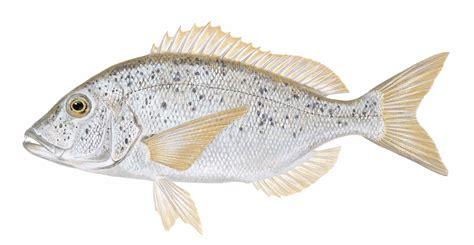سمكة دندشي | علم الأحياء البحرية في ليبيا