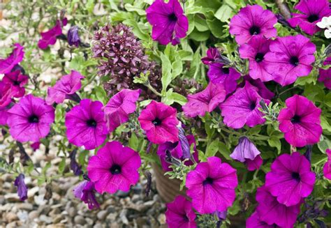 what are annual flowers annual plants vs perennials and how to use them