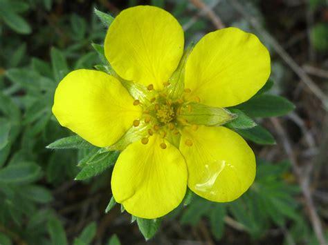Oval petals - pictures of Dasiphora Fruticosa, Rosaceae ...