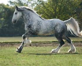 Gypsy Vanner Clydesdale Cross Horse