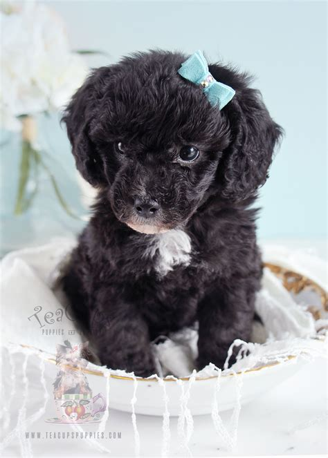 poodle toy teacup puppy puppies poodles french bulldog florida