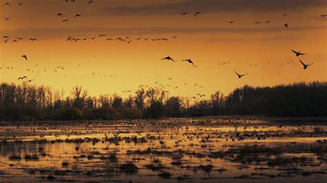 Sacramento Wildlife Refuge Geese Bing Wallpaper Download