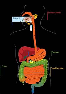 Images Of Digestive System Of Human Body