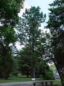 Alabama Moon Tree