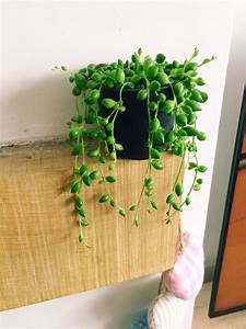 String Of Pearls Peas Rosary Beads Vine Succulent Indoor