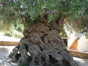 The World's Oldest Trees That Are Still Standing Today ...