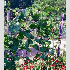 This Redstemmed Vine Is Both Attractive And Edible The