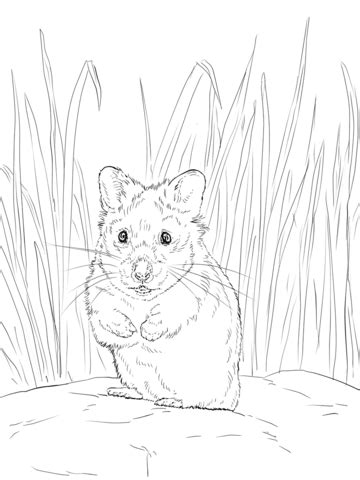 hamster coloring page  printable coloring pages