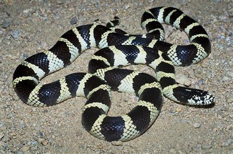 rattlesnake removal  fairfield vacaville napa alamo