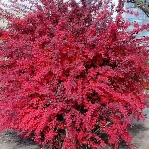 Berberis Thunbergii Atropurpurea Nana : 49 best barberry images on pinterest landscaping ideas gardens and garden plants ~ Pilothousefishingboats.com Haus und Dekorationen