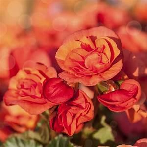 Beste Zeit Zum Tomaten Pflanzen : knollenbegonien einpflanzen wann wie macht man das ~ Lizthompson.info Haus und Dekorationen