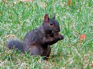 nyc black squirrels