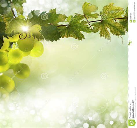 grape vine background stock images image