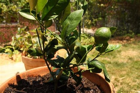 pot for lemon tree growing a lemon tree in a pot eat drink better