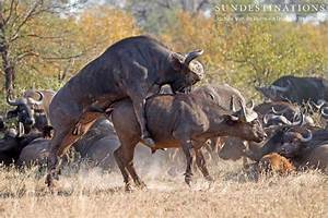 Buffalo Bulls Get Frisky With One Another
