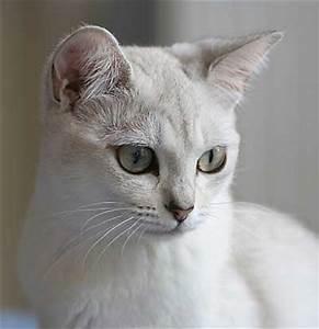 Light Grey Kitten 65 Most Beautiful Burmilla Cat Photos And Images
