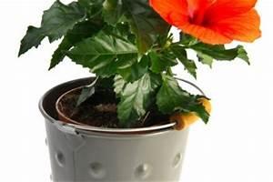 Gartenhibiskus Vermehren Stecklinge : hibiskus vermehren so klappt 39 s mit samen stecklingen mehr ~ Lizthompson.info Haus und Dekorationen