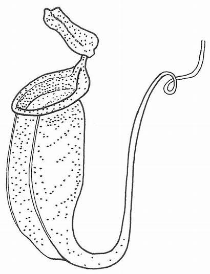 Plants Clipart Pitcher Plant Carnivorous Bladderwort Nepenthes