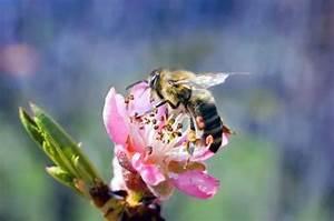 Learn Do Peach Trees Need A Pollinator