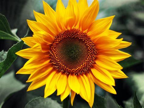 sunflower bloom hd wallpaper  wallpaperscom