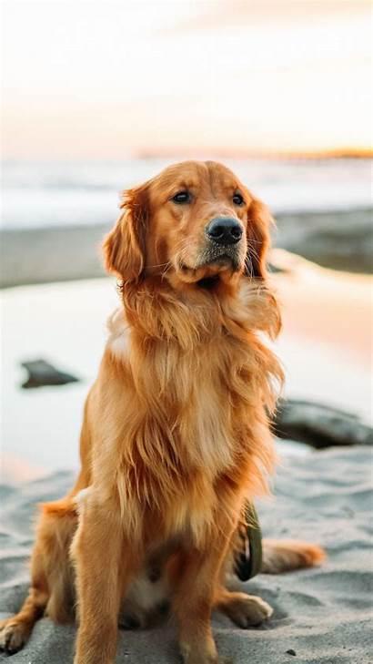 Retriever Golden Dog Background Iphone Sitting Sand