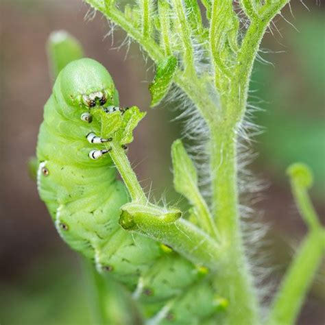 25 best ideas about garden pests on pinterest aphid