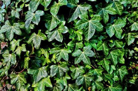 ivy plant vine  photo  pixabay