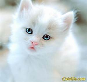 Fluffy White Kitten With Blue Eyes | Cuteness | Pinterest