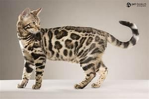 Bengal cats & kittens - The International Bengal Cat ...