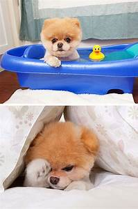 7 best Jiffpom images on Pinterest | Beautiful images, Dog ...