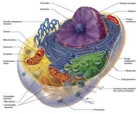Cell Mitochondria Function