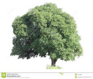 home design elements mango tree royalty free stock image image 31554806