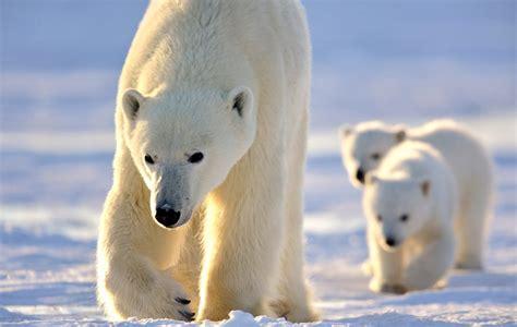 scheduled safaris arctic kingdom polar expeditions